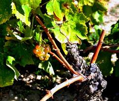 Tardor a la Vall del Riucorb, Vinyes de l'Urgell, Guimer. (Angela Llop) Tags: fall spain eu catalonia vineyards catalunya grape ceps vias urgell verga