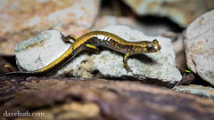 Dunn's Salamander (Plethodon dunni) (DaveHuth) Tags: oregon forest amphibian salamander opalcreekwilderness