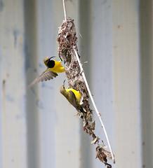 Male and female sunbird (Dan Armbrust) Tags: australia queensland cannon birdsinflight sunbird australianbirds armbrust yellowbelliedsunbird 100400f4 danarmbrust
