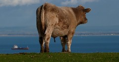 # (BOB@ wootton) Tags: cow isleofwight isle wight iow culver