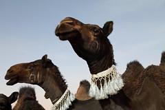 Black camel (Dlirante bestiole [la posie des goupils]) Tags: sand desert middleeast exhibition camel saudiarabia dromadaire bdouins arabiesaoudite irakborder