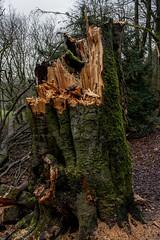 Beech tree stump (jackharrybill) Tags: tree woods buxton beech corbar jackharrybill