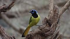 (alberto bird photographer) Tags: pajaros