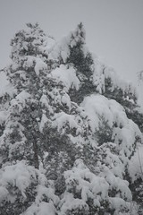 Winter Treetop (eyriel) Tags: winter snow storm cold tree pine snowstorm snowing