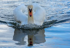 J77A9951 -- A Mute Swan swimming fast in Le Vésinet (Nils Axel Braathen) Tags: france nature birds canon wildlife fugler oiseaux levésinet vogeln canon5dmarkiii vividstriking mygearandme mygearandmepremium mygearandmebronze mygearandmesilver mygearandmegold mygearandmeplatinum