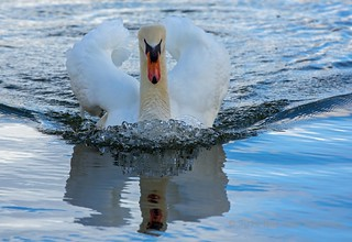 J77A9951 -- A Mute Swan swimming fast in Le Vésinet