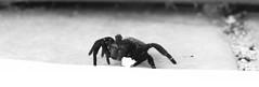 DSC00716 (WelshPixie) Tags: blackandwhite macro spider arachnid velvet velvetspider