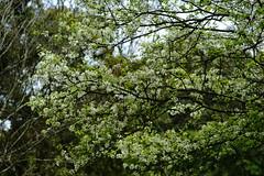 Chinese Hawthorn (ddsnet) Tags: plant flower sony chinese taiwan 99   taoyuan  slt hawthorn      singlelenstranslucent 851 99v