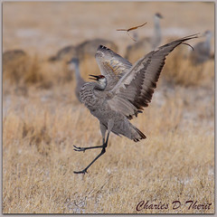 Sandhill Crane - Object Toss (ctofcsco) Tags: 1div 2x alamosa canon colorado coloradosprings crane ef400mmf28liiusm eos1dmarkiv explore explored extender montevista montevistanwr nationalwildliferefuge nature objecttoss sanluisvalley sandhill sandhillcrane sandhillcranefestival unitedstates usa wildlife zinzer ngc national refuge montevistanationalwildliferefuge monte vista ef2x ii extenderef2xii eos1d mark iv eos 1d 4 mark4 co northamerica teleconverter montevistacranes sandhillcranes alamosacranes migratingcranes grus canadensis gruscanadensis ef2xii best wonderful perfect fabulous great photo pic picture image photograph