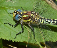 Hairy Dragonfly (Brachytron pratense) (Claire Sell) Tags: nature bug insect nikon dragonfly wildlife odonata aeshnidae d3200 hairydragonfly brachytronpratense hairyhawker