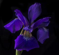 Blue Iris From Cathy's Garden (Bill Gracey) Tags: blue iris flower nature fleur blackbackground garden colorful durham flor northcarolina naturalbeauty softbox sidelighting directionallight offcameraflash lastoliteezbox yn560