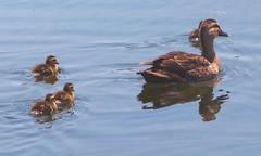 2014.05.10 (eriko_jpn) Tags: bird duck chick chicks spotbillduck anaspoecilorhyncha
