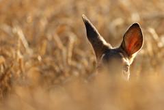 Dichotic Listening (Alan MacKenzie) Tags: sussex wildlife wheat deer roe roedeer southdowns babydeer babyroedeer wildlifewednesday
