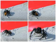 Turn, turn, turn! (vegeta25) Tags: red brown black nature animal spider scary fuji gray fujifilm 13 myfuji s5800 114picturesin2014