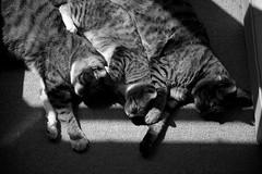 Tabi Hiyori Maru (rampx) Tags: blackandwhite bw cat kittens tabi neko   maru miaw hiyori