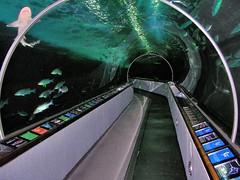 Walk through the Aquarium (Joe Lach) Tags: sanfrancisco california fish aquarium shark fishermanswharf pier39 aquariumofthebay walkthroughaquarium 300feetoftunnels joelach