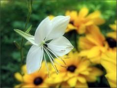 (Tlgyesi Kata) Tags: summer whiteflower yellowflower gaura rudbeckia kpvirg coneflower tuzsonjnosbotanikuskert botanikuskert botanicalgarden withcanonpowershota620 blossom nyr