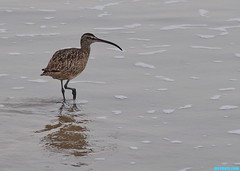 JettyGodwit (mcshots) Tags: ocean california winter sea usa bird beach nature water birds animals reflections coast sand wildlife stock shoreline feathers socal mcshots shorebirds losangelescounty godwit