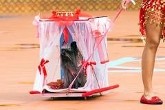 2015-02-01 Haustier-Karneval in Las Palmas de Gran Canaria (11) Carnaval Canino, die Wahl zum besten Haustier-Kostuem im Karneval von Las Palmas de Gran Canaria, Spanien (mike.bulter) Tags: animal canarias canaries canaryislands carnavalcanino carnival contest costume disguise dog esp grancanaria haustier hund kanaren karneval kostuem laspalmasdegrancanaria pet puertocanteras spain spanien tier verkleidung wettbewerb gkzhssrfryzq2mjha3d2
