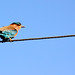 Pretty bird perched on electricity wire