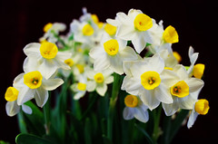 Blossoming narcissus flowers (Leon-Zhang) Tags: china flowers photography beijing gr ricoh narcissus weibo