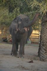 How does date palm taste? (oldandsolo) Tags: elephant fauna zoo uae abudhabi unitedarabemirates asianelephant herbivore elephasmaximus asiaticelephant zoologicalgardens emiratesparkzoo samhaabudhabi
