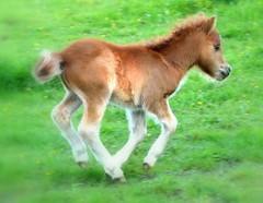 """ Fast small Stallion "" (Kalbonsai) Tags: horses green nikon fast lopen stallion laufen paard schnell hengst veulen beautifulhorses 55300mm d5100 naturphotografie"