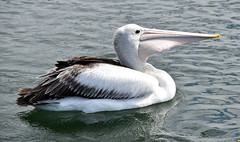 Pelican gulp! (Merrillie) Tags: sea nature water animals fauna bay nikon scenery waterfront wildlife australia pelican views nsw brisbanewater woywoy d5500 nswcentralcoast centralcoastnsw