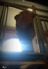 Say what? (Papa Razzi1) Tags: work spring may stable lawenforcement sigge hors 2016 policehorse 7191 139365