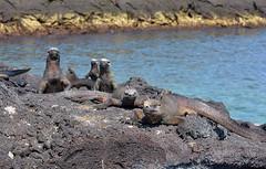 Marine Iguanas standing proud on Fernandina Island, Galapagos. (One more shot Rog) Tags: nature island marine wildlife godzilla safari prehistoric colony marineiguanas iguanaiguanalizardreptilesscalesscalyseagalapagosgalapagos islandsfernandinafernandina