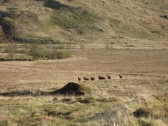 Deer (Simon Varwell) Tags: knoydart