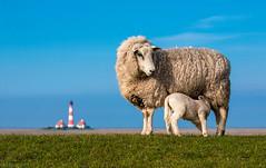 Schafe von Westerhever (m.cjo Fotografie - Martin Rakelmann) Tags: 50mm nordsee leuchtturm schleswigholstein holstein schaf schleswig westerhever mcjo