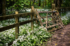 144/366 Wild Garlic, Lanhydrock - 366 Project 2 - 2016 (dorsetpeach) Tags: bluebells spring gate cornwall may 365 nationaltrust wildgarlic 2016 366 lanhydrock aphotoadayforayear 366project second365project