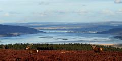 View down the Beauly Firth to Inverness (Gavin MacRae) Tags: nature scotland nikon wildlife deer reddeer inverness blackisle stags kessockbridge beauly cervuselaphus beaulyfirth scottishwildlife highlandsofscotland scottishlandscapes scottishnature aigas scottishhills reddeerstag strathglass highlandlandscape highlandwildlife highlandnature