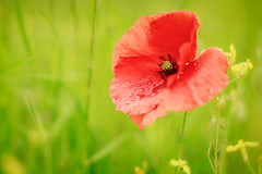 Project 366 - 150/366: Poppy (sdejongh) Tags: morning light red flower nature water field rain project petals spring soft mood bokeh dew poppy droplet delicate herb 366 150366