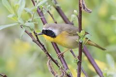 Common yellowthroat (Geothlypis tracheas) (Tony Varela Photography) Tags: warbler commonyellowthroat geothlypistrichas woodwarbler photographertonyvarela