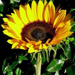 Sunflower (Maryjo25) Tags: australia sunflower
