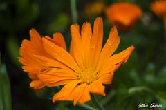 Suave (Jotha Garcia) Tags: park parque orange flower primavera water rain drops spring lluvia agua nikon soft flor may gotas mayo naranja suave 2016 nikond3200 jotha d3200 jothagarcia