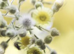 323 (Rafi Moreno) Tags: flowers naturaleza flores macro primavera nature yellow canon vintage spring hipster retro dandelion amarillo silvestre rafi dientedeleón 365proyect proyecto365fotos