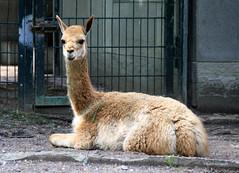 05-IMG_2143 (hemingwayfoto) Tags: anden berlin hochanden kamel kamele lama lamavicunia landwirtschaft liegend natur nordchile nutztier panther sugetier sdamerika schwielensohler tier vicunia wild wolle zoo zucht