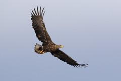 White-tailed Eagle (S.G.Davis) Tags: wild hungary eagle predator whitetailed subadult