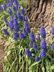 IMG_3125 (sjj62) Tags: flowers flower hyacinth chicagoil iphone5