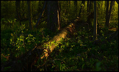 Forest Sunset VII (Josh Rokman) Tags: nature outdoors nikond7000 swamp marsh forest sunset natural sun gold golden