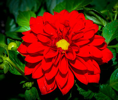 Scarlet Red (jhambright52) Tags: macro macroflowers scarletredmacro