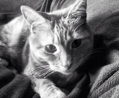 Cat in black and white. (MsRobotica) Tags: blackandwhite blanket tabby feline kitty cat