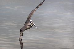 Brown Pelican in Flight (lisanelson2011) Tags: galveston heron hermitcrab port fisherman pelican cheryl cormorant tern egret kem shrimpboats sanderling willet ruddyturnstone avocet redwingblackbird 2016 laughinggull reddishegret