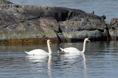 Cygnus olor (Tuomo Nyknen) Tags: family bird swan chick muteswan kyhmyjoutsen finnishbirds suomenlinnut
