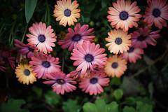 Osteospermum (judy dean) Tags: daisy osteospermum 2016 judydean sonya6000
