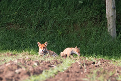 renard + petit (patrickjourdan53) Tags: nature canon terrier maman bb champ petit repos sauvage renard 70d 70300l