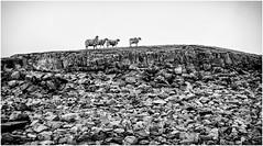 Cowgreen . (wayman2011) Tags: uk mono rocks sheep dales pennines lightroom countydurham cowgreen teesdale bwlandscapes farmannimals wayman2011 fujifimx70